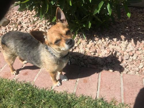 Boomer, an adopted Chihuahua Mix in Phoenix, AZ_image-2