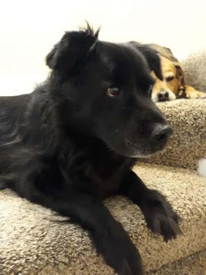 Anthony is a large Male chow mix He is 7 years of age and has been neutered and has all