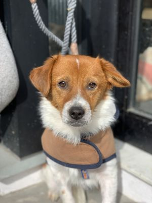 Camillo 1 year old 17lbs Jack Russell TerrierCorgi Mix Neutered Male Medium Active NEEDS HOME