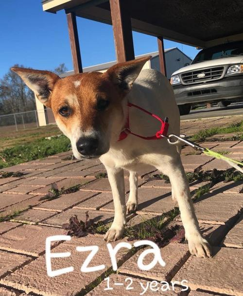 Ezra (nka Eddie), an adopted Jack Russell Terrier Mix in Oakhurst, NJ_image-1