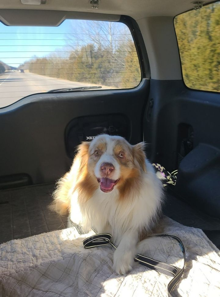 Mugs-Z, an adoptable Australian Shepherd in Troy, IL