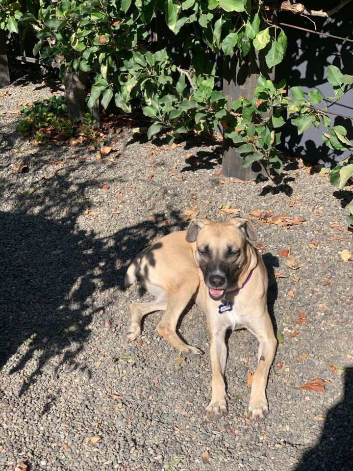 Violet, an adoptable Labrador Retriever & Border Collie Mix in Santa Rosa, CA_image-5