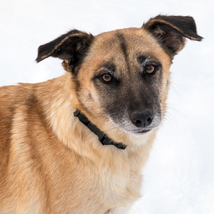 Athena, an adoptable Shepherd Mix in Westfield, NY