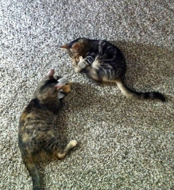 Walter and Sophia, an adopted Tabby Mix in Mission Viejo, CA