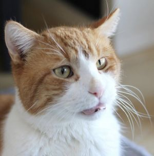 Luther a 10-year-old Orange Tabby is quite the character Despite losing his h