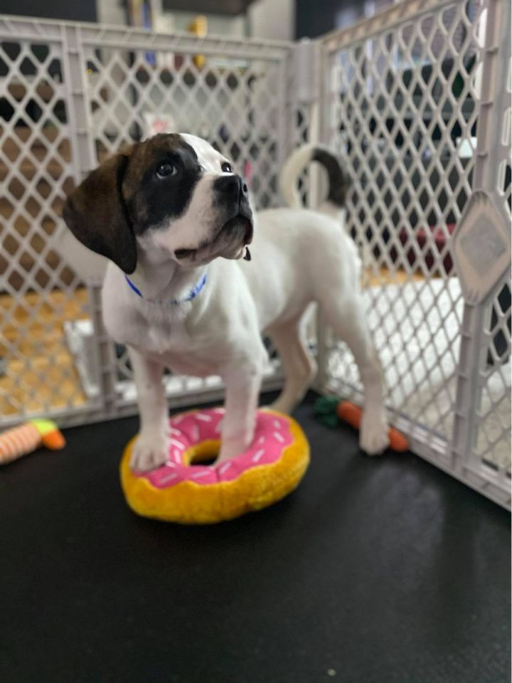 Laura, an adoptable Boxer Mix in New York, NY
