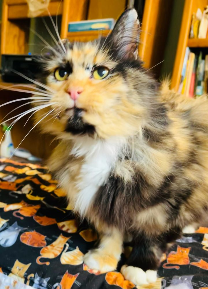 Miss Fluff, an adopted Domestic Long Hair & Persian Mix in Fairfax, VA