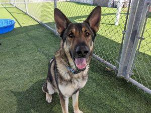 COYOTE German Shepherd Dog Dog