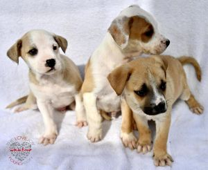 Hi meet Jazzy Litter Jazzy Litter are 8 week old Shepard Mixes These three are males They are play
