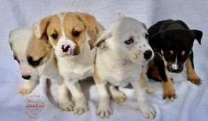 Hi Meet Jazzy Litter Jazzy Litter are 8 week old Shepard Mixes These four are females They are pla