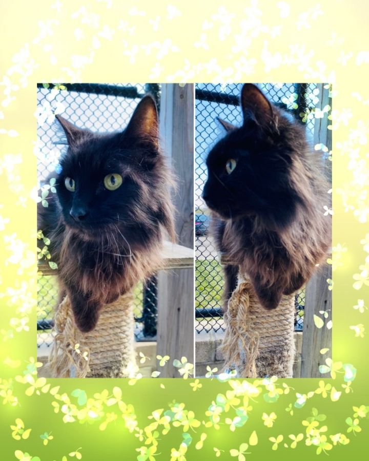 SABER, an adoptable Domestic Long Hair in Wintersville, OH