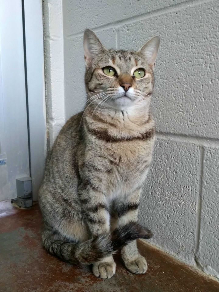 Icicle, an adopted Domestic Short Hair Mix in Carencro, LA