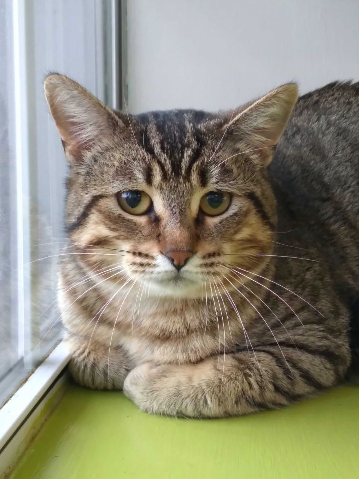 Speedy, an adopted Domestic Short Hair Mix in Carencro, LA