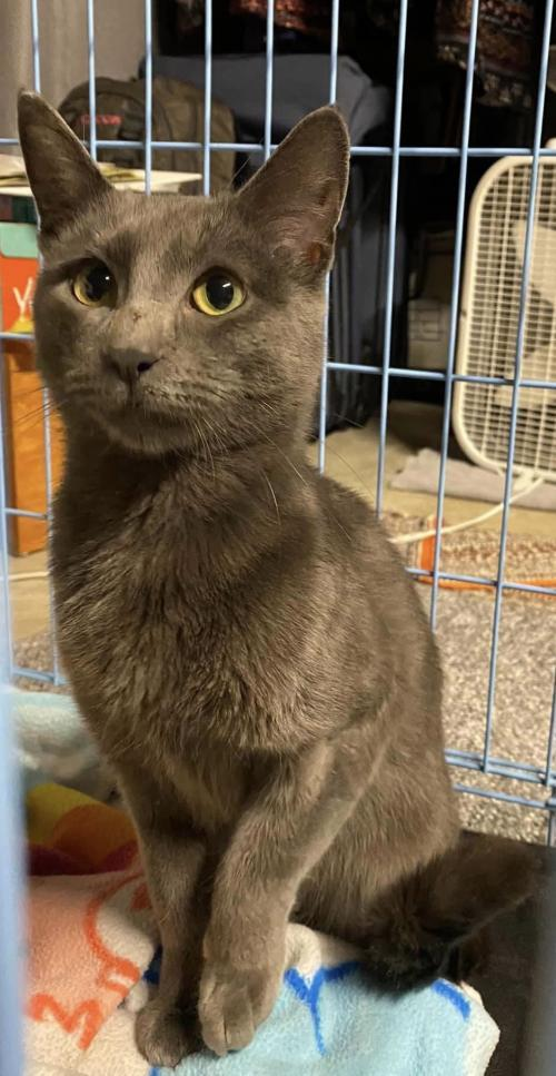 Lulu Cat, an adoptable Russian Blue & Domestic Short Hair Mix in Monroe, MI