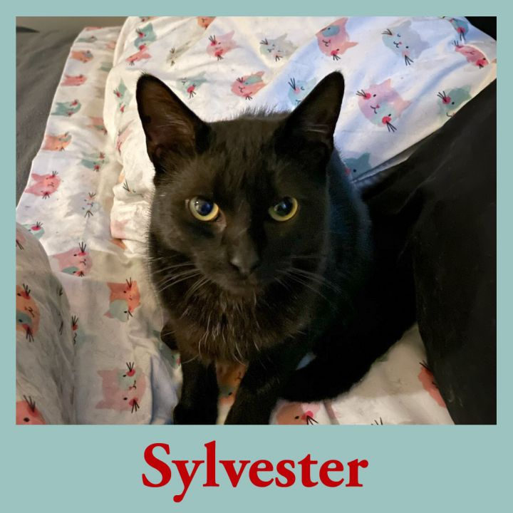 Sylvester the cat!, an adoptable Domestic Short Hair in Port Chester, NY