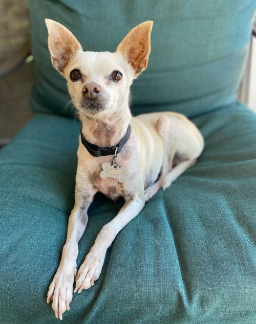 Chloe, an adopted Chihuahua Mix in Phoenix, AZ