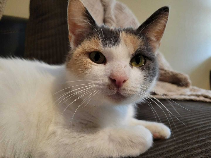 Zoey, an adoptable Dilute Calico & Domestic Short Hair Mix in Manhattan, KS