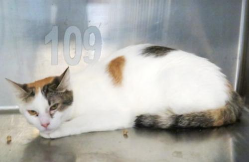 Joanie, an adoptable Calico & Domestic Short Hair Mix in Carrollton, GA
