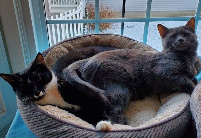 Quebec and Zulu, an adopted Domestic Short Hair in Danbury, CT