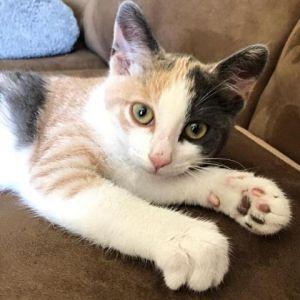 Venus Domestic Short Hair Cat