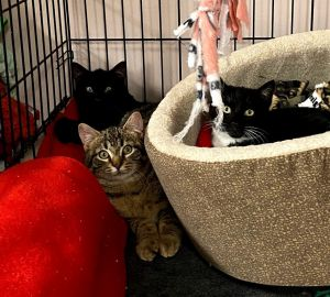 These adorable kittens will spice up your life Sage Basil and Cilantro are five months old They