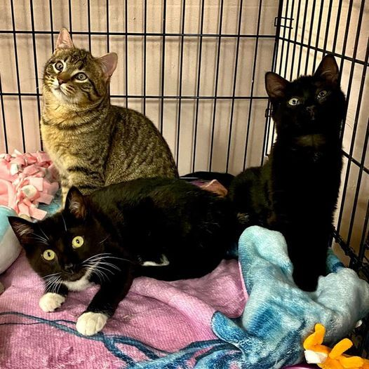 Sage, Basil, and Cilantro, an adopted Domestic Short Hair in Danbury, CT