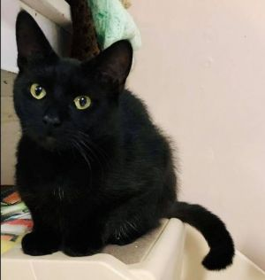 Meet Midnight This beautiful 2 year old boy was rescued as a stray and is ready to find a home