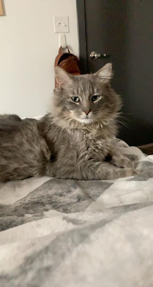 Bear, an adoptable Domestic Short Hair Mix in Springfield, MO