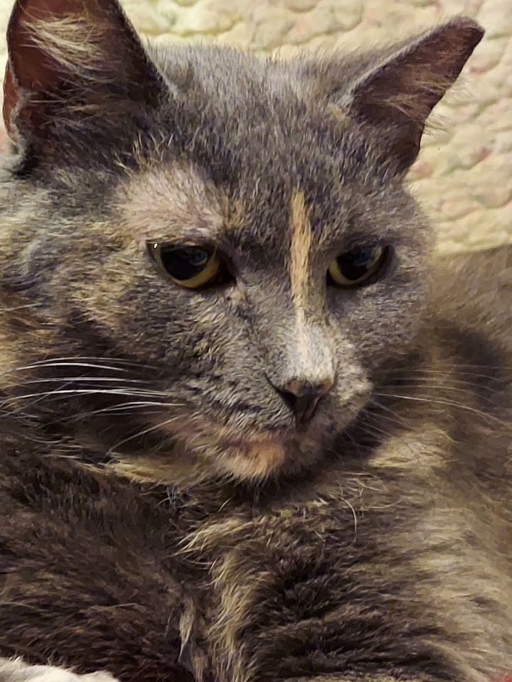 Strafford, an adoptable Domestic Short Hair Mix in Springfield, MO