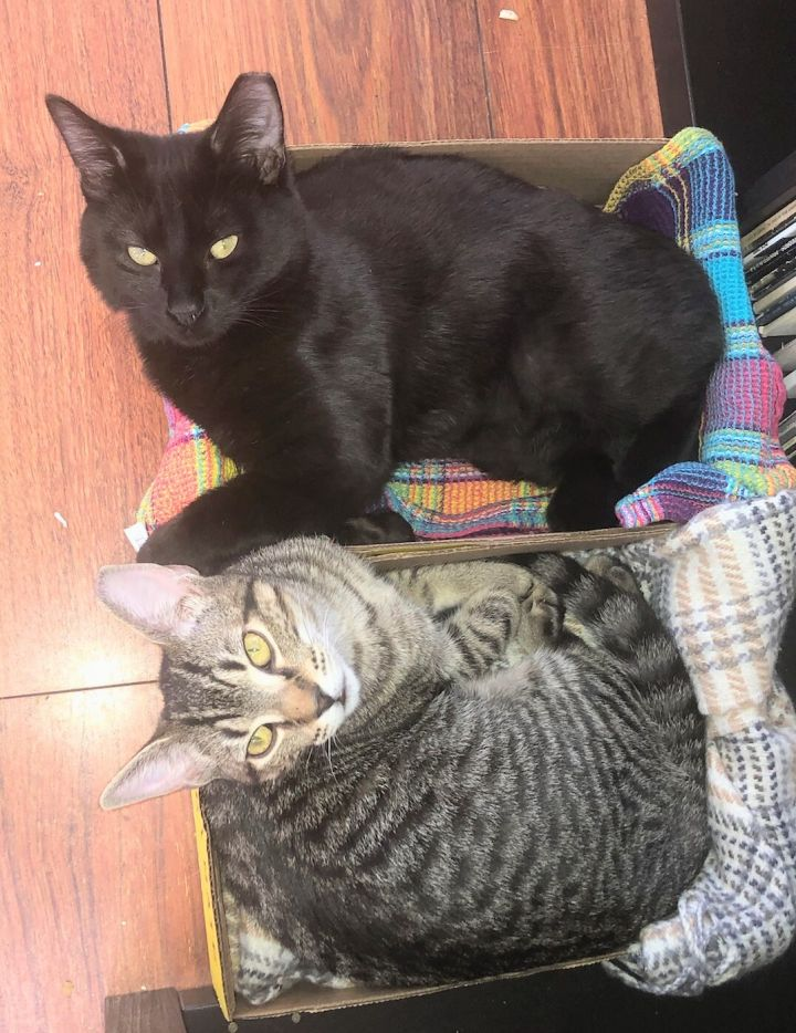 Oblio and Arrow, an adopted Domestic Short Hair in Melrose, MA