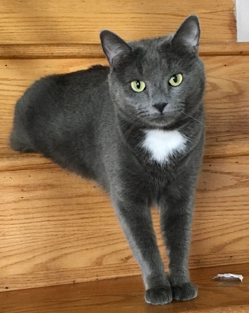 GEORGE, an adoptable Tuxedo & Domestic Short Hair Mix in Churchville, PA_image-1