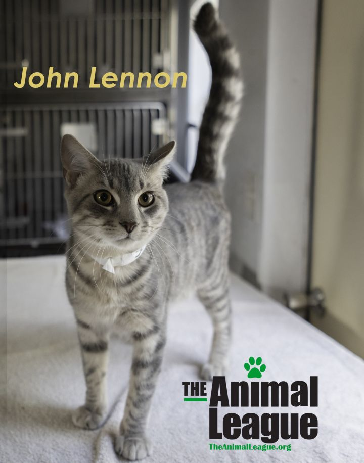 John Lennon, an adoptable Domestic Short Hair Mix in Clermont, FL