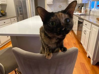Storm, an adoptable Tortoiseshell in Kentwood, MI