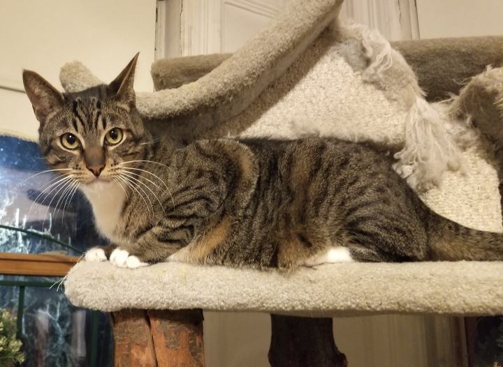 Joey, an adoptable Domestic Short Hair & Tabby Mix in Brooklyn, NY