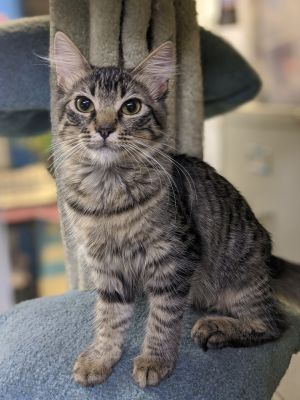 Zora Domestic Medium Hair Cat
