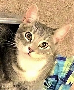 Marc, an adoptable Domestic Short Hair in Breinigsville, PA_image-1