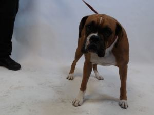 21-06795 Boxer BrownWhite Impounded on 02202021 from South Gate Available for adoption holds on 0