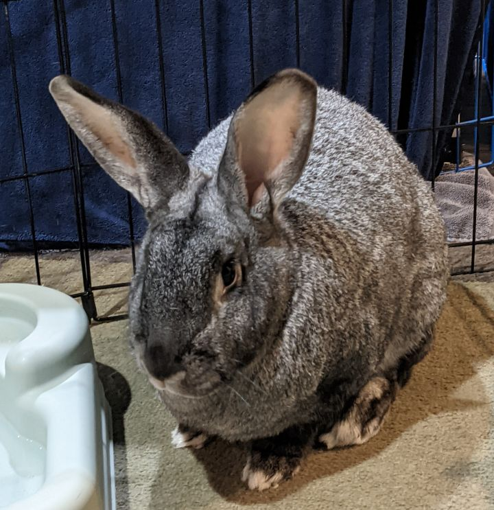 Big Mac & Nugget, an adopted Flemish Giant in Woburn, MA
