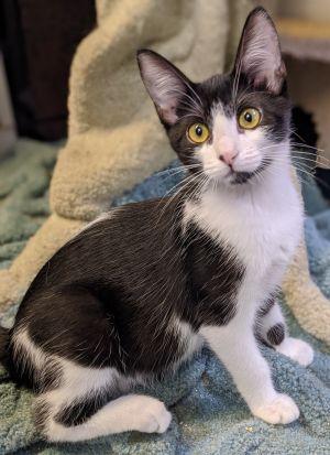 Edie (Wharton) American Shorthair Cat
