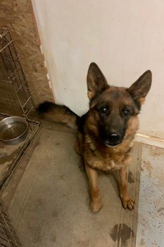Annie Bananie - pending, an adopted German Shepherd Dog in Hillside, IL