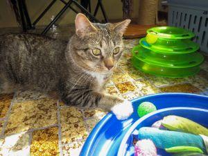 Gus Domestic Short Hair Cat