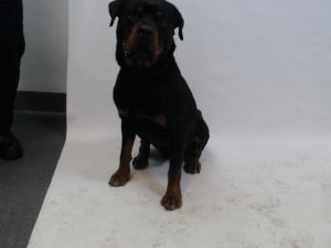21-06793 Rottweiler BlackBrown Impounded on 02202021 from South Gate Available for adoption holds