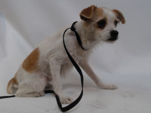 21-06798 Terrier Mix TanWhite Impounded on 02202021 from South Gate Available for adoption holds