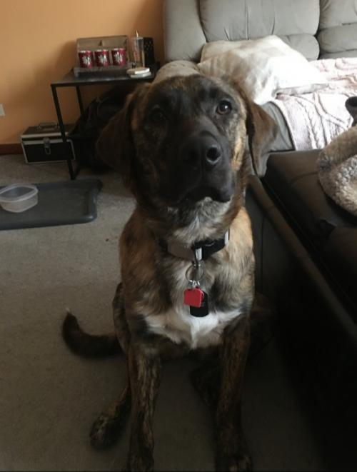 Winston Churchill, an adopted Mountain Cur & Golden Retriever Mix in Hillside, IL