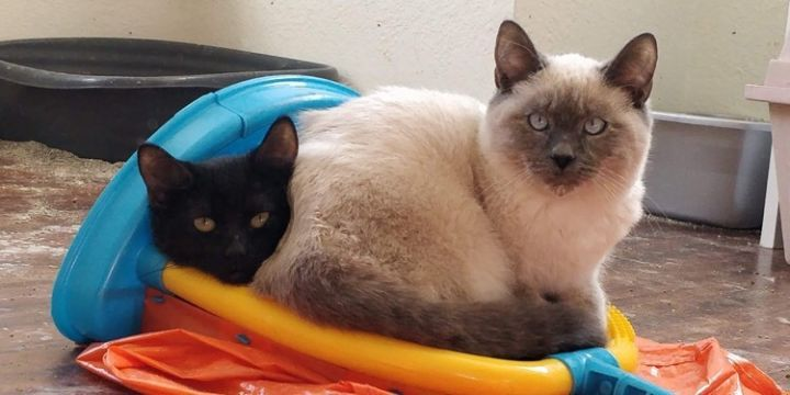 Jumbo, an adopted Siamese Mix in Mission Viejo, CA