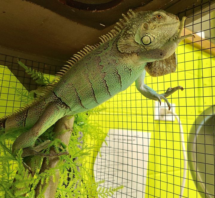 Loki, an adopted Iguana in Cortlandt Manor, NY