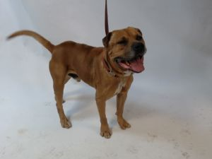 21-06807 Pitbull Mix Brown Impounded on 02202021 from Downey Available for adoption holds on 0220
