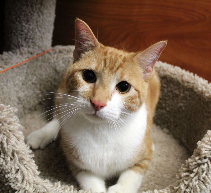 Corndog, an adoptable Domestic Short Hair & Extra-Toes Cat / Hemingway Polydactyl Mix in Centerville, UT