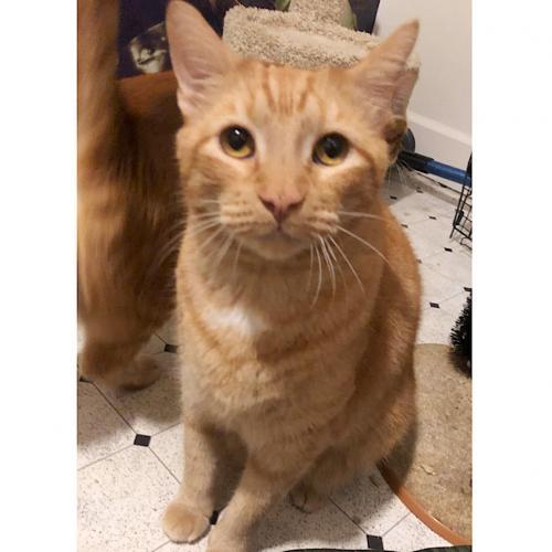 OPI, an adoptable Tabby & Domestic Short Hair Mix in Springfield, OR