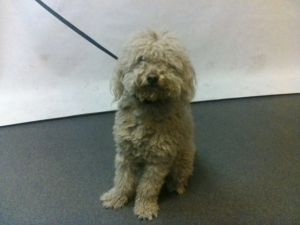 21-06809 Poodle Mix White Impounded on 02202021 from Downey Available for adoption holds on 0220